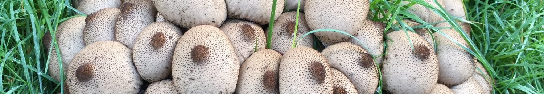Kitsap Peninsula Mycological Society